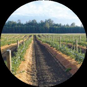 cultivo de arandanos