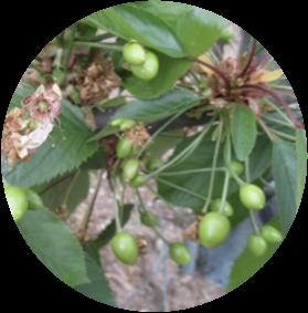 Análisis de Vigor Vegetativo - Cerezos